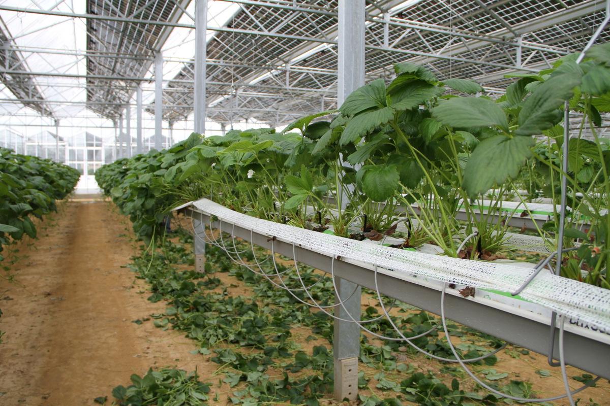 plantation de fraisiers collection design inspiration pour le jardin et son. Black Bedroom Furniture Sets. Home Design Ideas